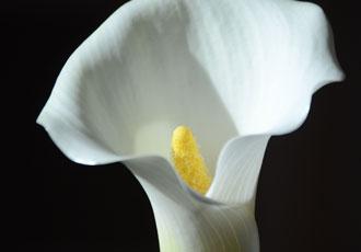 classy calla flower