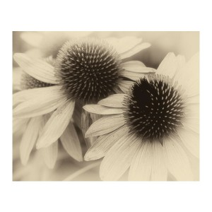 Haunted By Coneflowers