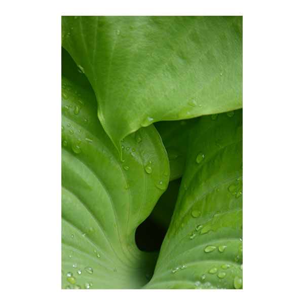 Hosta Sweat