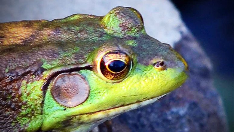 A Frog Winked At Me Tonight…Good Luck or Bad?