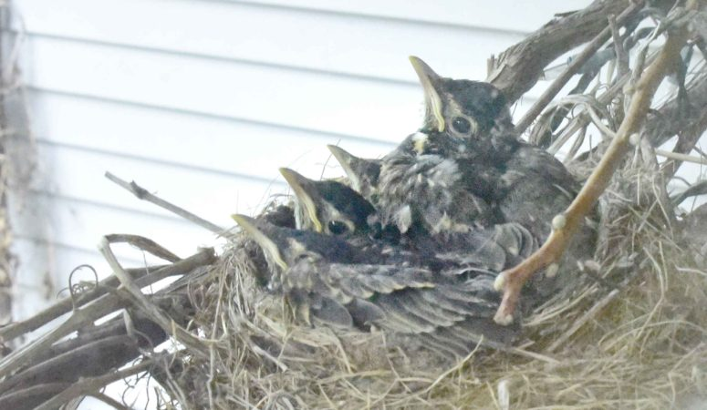 And Then There Were None: How A Robin Family Made Me Appreciate An Empty Nest