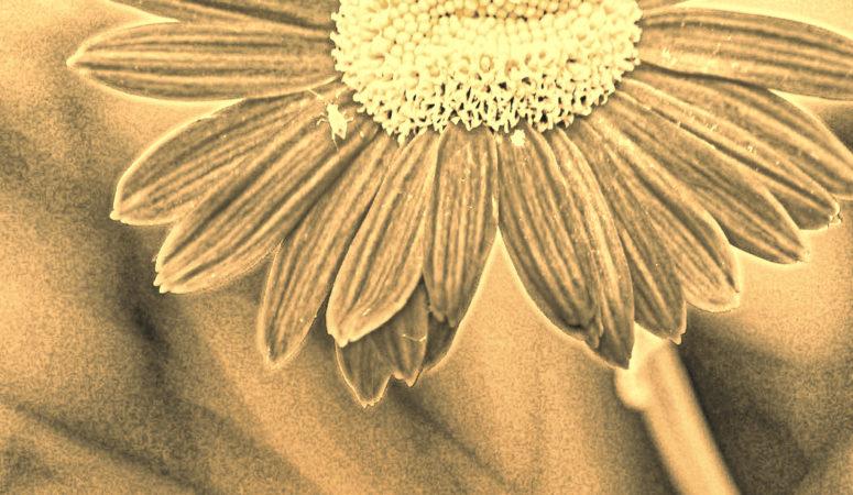 daisies aging schmaging