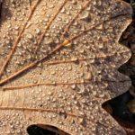 aging schmaging oak leaf