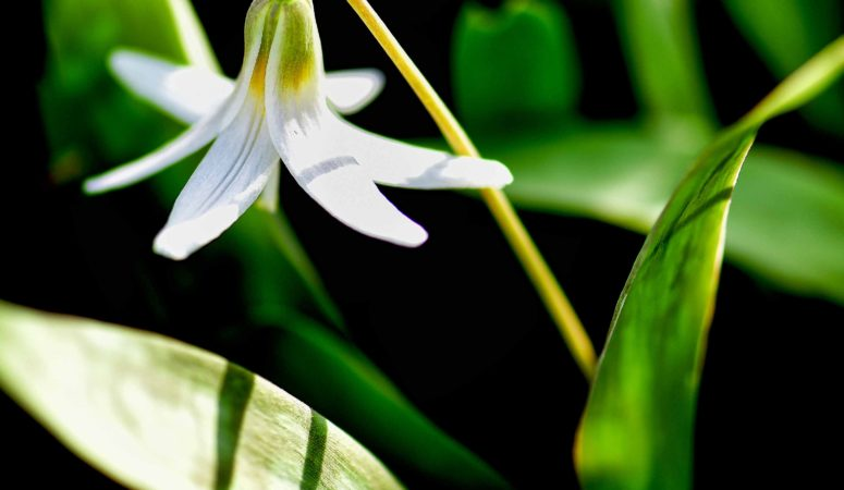 Trout Lilies And Other Spring Delights