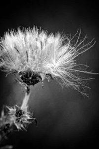 agingschmaging dandelion
