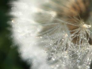 agingschmaging dandelions