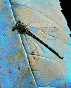 agingschmaging dragonfly blue