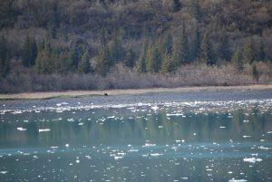 agingschmaging bear on shore