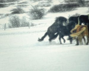 Aginschmaging Icelandic horses at play