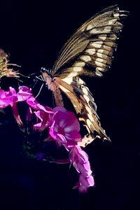milas butterfly agingschmaging.com