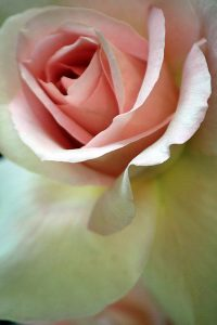 agingschmaging rose