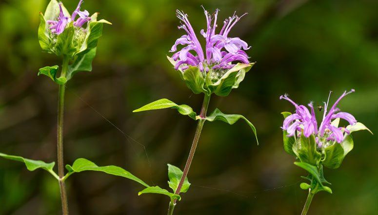 Bergamot Flower - Bee Balm