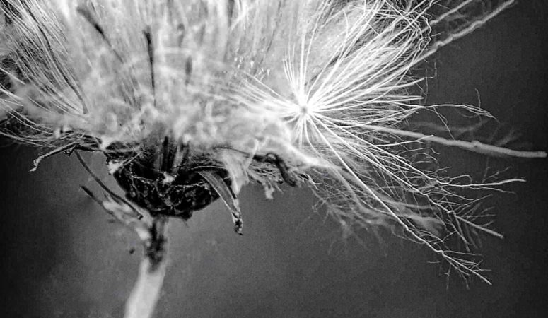 The French Word For Dandelion?  Pissenlit, or, Pee The Bed